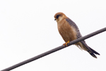 Aftonfalk/Falco vespertinus/Red-footed Falcon