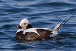 Alfågel/Clangula hyemalis/Long-tailed Duck