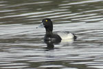 Mindre bergand/Aythya affinis/Lesser Scaup