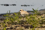 Ökenpipare/Charadrius leschenaultii/Greater Sand Plover