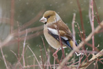 Stenknäck/Coccothraustes coccothraustes/Hawfinch